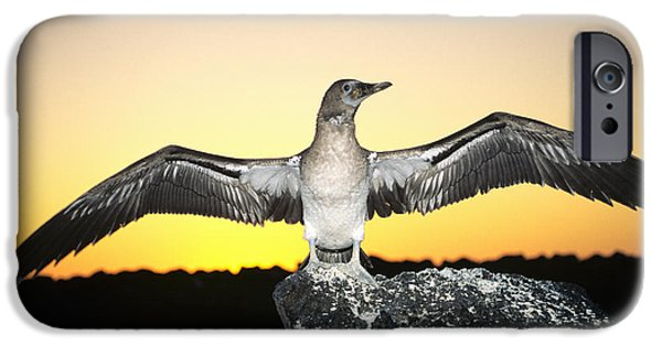 Boobies iPhone Cases - Booby at Sunset iPhone Case by Dave Fleetham - Printscapes