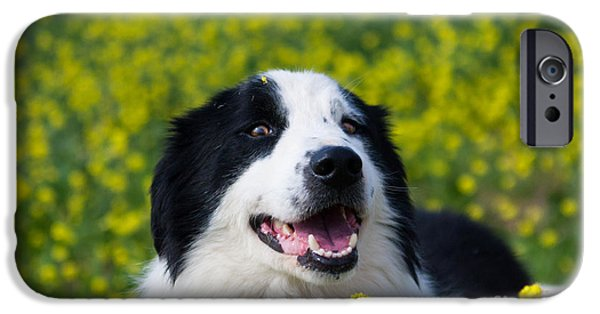 Dog And Wildflowers iPhone Cases - Border Collie Romeo II iPhone Case by Julia Rigler