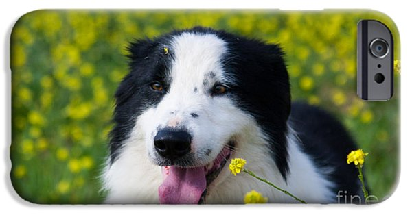 Dog And Wildflowers iPhone Cases - Border Collie Romeo III iPhone Case by Julia Rigler
