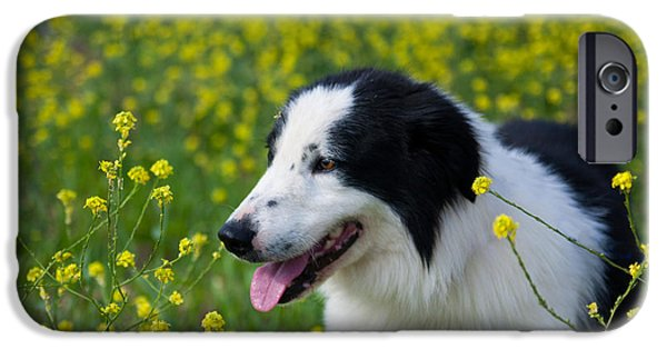 Dog And Wildflowers iPhone Cases - Border Collie Romeo iPhone Case by Julia Rigler