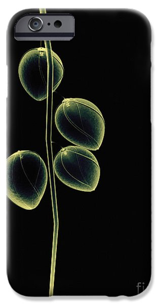 Botanical Study 2 iPhone Case by Brian Drake - Printscapes