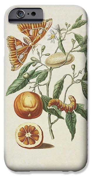Metamorphosis Paintings iPhone Cases - Branch of sweet orange tree iPhone Case by Maria Sibylla Merian