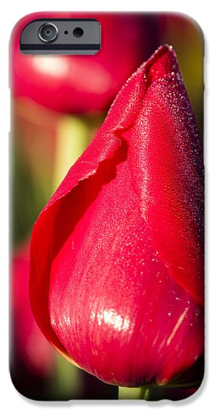 Agricultural iPhone Cases - Bright red tulip flowers in bloom iPhone Case by John Trax