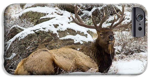 Scott Nelson Photographs iPhone Cases - Bull Elk Lounging iPhone Case by Scott Nelson