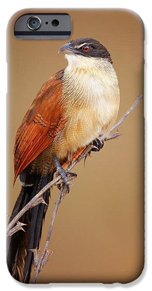 Bird Photographs iPhone Cases - Burchells coucal - Rainbird iPhone Case by Johan Swanepoel