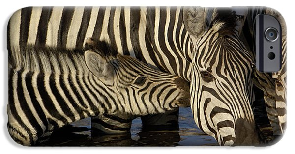 Recently Sold -  - Couple iPhone Cases - Burchells Zebra Equus Burchellii Foal iPhone Case by Pete Oxford