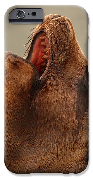 California Sea Lions iPhone Cases - California Sea Lion Calling Out iPhone Case by Max Allen