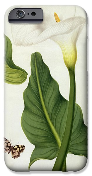 Flora Drawings iPhone Cases - Calla Aethiopica with Butterfly and Caterpillar  iPhone Case by Matilda Conyers