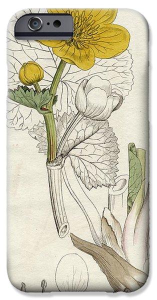 Botanical Drawings iPhone Cases - Caltha Palustris-marsh Marigold,1798 iPhone Case by Ken Welsh