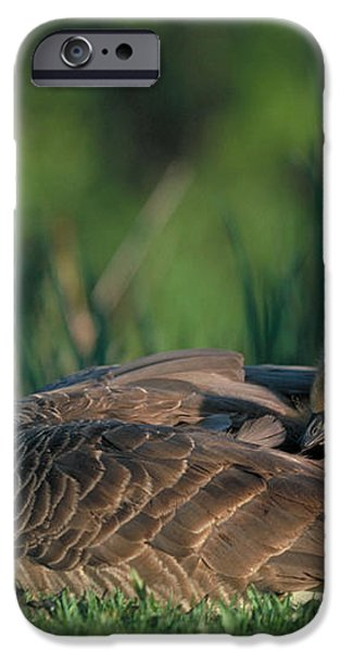 Canada Goose with goslings iPhone Case by Alan and Sandy Carey and Photo Researchers