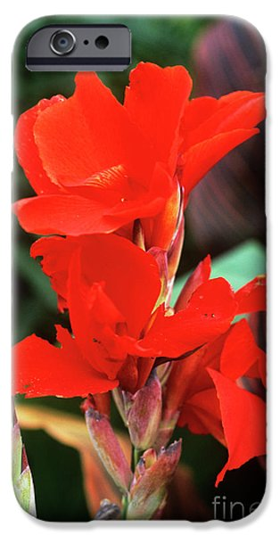 Canna Lily 'lucifer' iPhone Case by Adrian Thomas