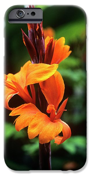 Canna Lily 'roi Humbert' iPhone Case by Adrian Thomas