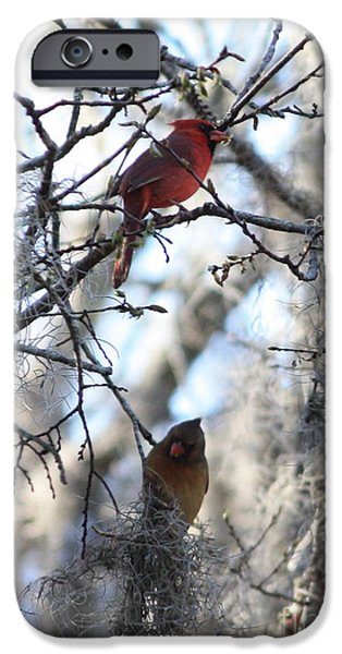 Florida Wildlife iPhone Cases - Cardinals in Mossy Tree iPhone Case by Carol Groenen