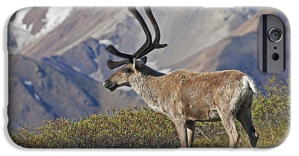 Interior Scene iPhone Cases - Caribou  Rangifer Tarandus iPhone Case by Alissa Crandall