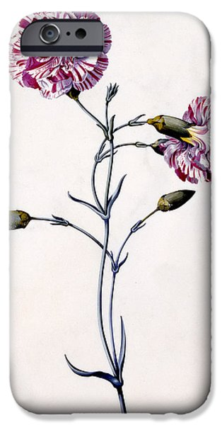 Flora Drawings iPhone Cases - Carnation iPhone Case by Georg Dionysius Ehret