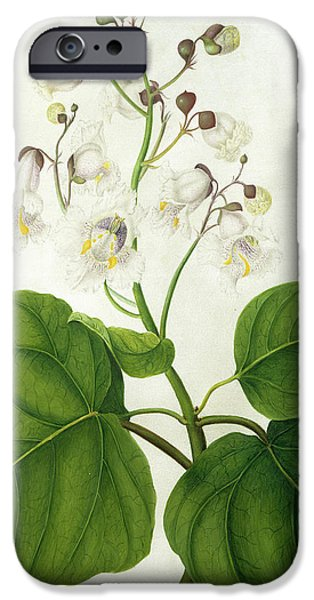 Flora Drawings iPhone Cases - Catalpa Speciosa iPhone Case by Matilda Conyers