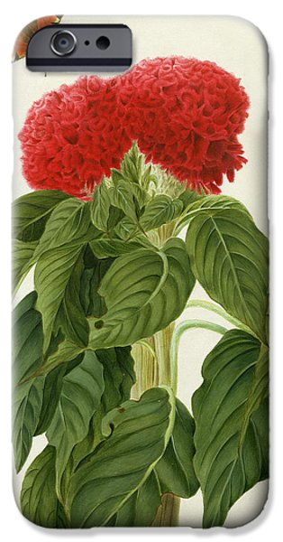 Flora Drawings iPhone Cases - Celosia Argentea Cristata and Butterfly iPhone Case by Matilda Conyers