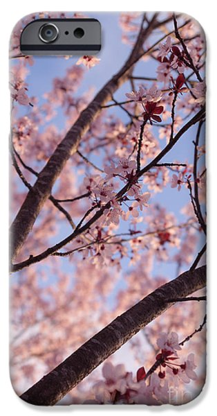Cherry Blossoms iPhone Cases - Cherry Tree in Bloom iPhone Case by Ana V  Ramirez
