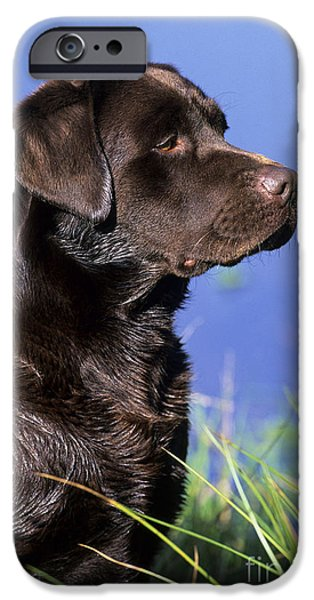 Chocolate Lab iPhone Cases - Chocolate Labrador iPhone Case by Jean-Louis Klein & Marie-Luce Hubert