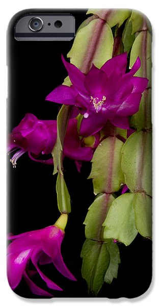 Christmas Cactus Purple Flower blooms iPhone Case by James BO  Insogna