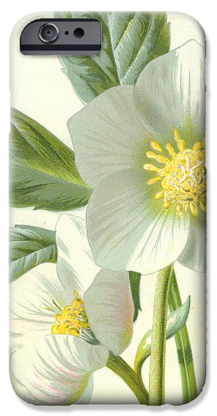 Flora Drawings iPhone Cases - Christmas Rose iPhone Case by Frederick Edward Hulme