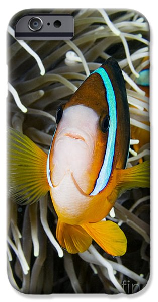 Amphiprion Clarkii iPhone Cases - Clarks Anemonefish iPhone Case by Dave Fleetham - Printscapes
