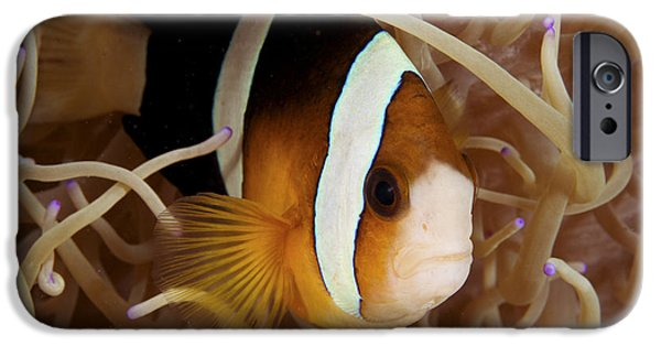Amphiprion Clarkii iPhone Cases - Clarks anemonefish iPhone Case by Steve Rosenberg - Printscapes