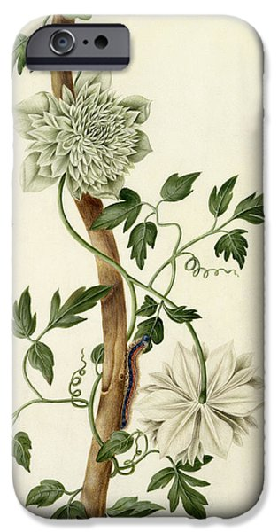 Flora Drawings iPhone Cases - Clematis Florida with Butterfly and Caterpillar iPhone Case by Matilda Conyers