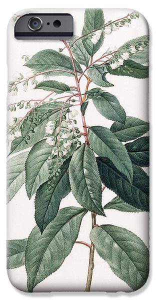 Flora Drawings iPhone Cases - Clethra Arborea iPhone Case by Pierre Joseph Redoute