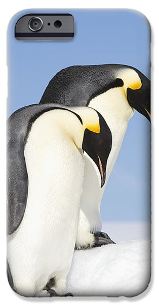 Bonding iPhone Cases - Close Up Of Two Adult Emperor Penguins iPhone Case by Daisy Gilardini