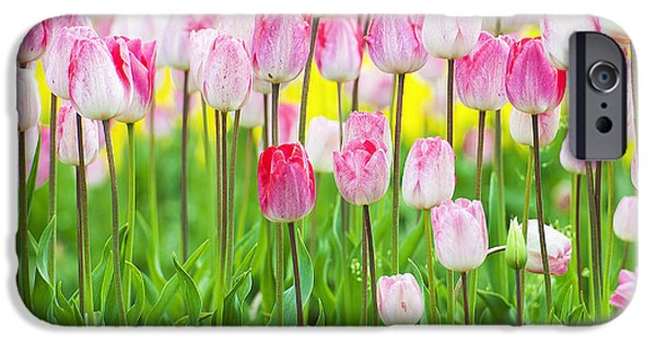One iPhone Cases - Closeup of Bright Pink and White Tulips iPhone Case by Dee Browning