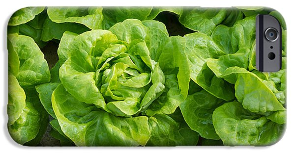 Agriculture iPhone Cases - Closeup Of Lettuces iPhone Case by Hans Engbers