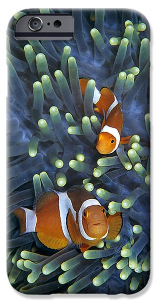 Recently Sold -  - Fauna iPhone Cases - Clown Anemonefish Amphiprion Ocellaris iPhone Case by Hiroya Minakuchi