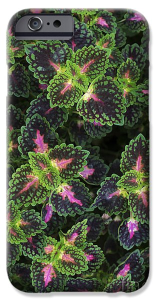 Nature Abstracts iPhone Cases - Coleus Whittoni iPhone Case by Tim Gainey