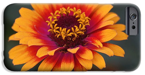 Lincoln iPhone Cases - Colorful Zinnia 2 iPhone Case by Dimitry Papkov