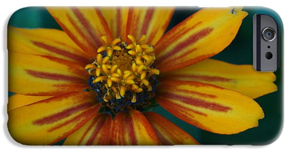 Lincoln iPhone Cases - Colorful Zinnia 3 iPhone Case by Dimitry Papkov