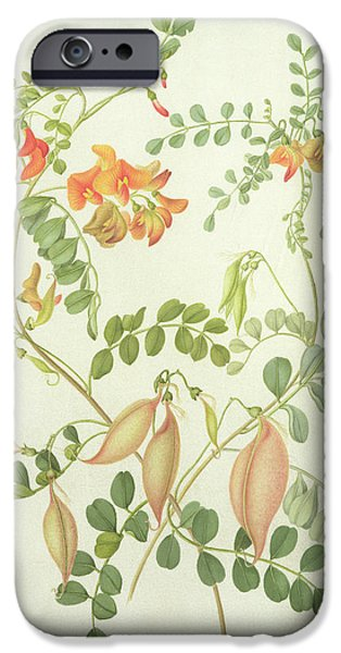Flora Drawings iPhone Cases - Colutea Arbordscens Media iPhone Case by Matilda Conyers