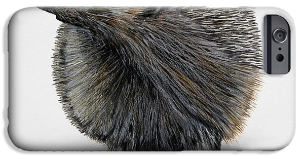Nature Study Paintings iPhone Cases - Common Hedgehog  Erinaceus europaeus - Herisson d Europe - Erizo iPhone Case by Urft Valley Art