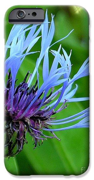 Cornflower Centaurea montana iPhone Case by Diane  Greco-Lesser