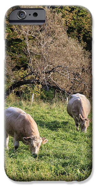 Fed Photographs iPhone Cases - Cows grazing in a field Etna NH iPhone Case by Edward Fielding