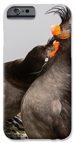 Auklets iPhone Cases - Crested Auklets iPhone Case by Sunil Gopalan