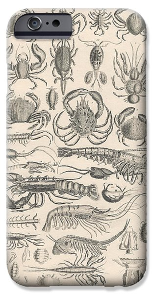 Botanical Drawings iPhone Cases - Crustacea iPhone Case by Captn Brown
