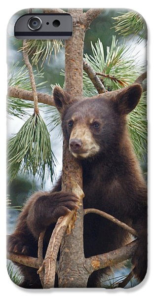 Bear Cub iPhone Cases - Cub in Tree Dry Brushed iPhone Case by Ernie Echols