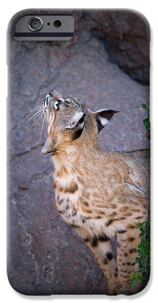 Curious Bobcat - ASDM Tucson Arizona iPhone Case by Randall Ingalls