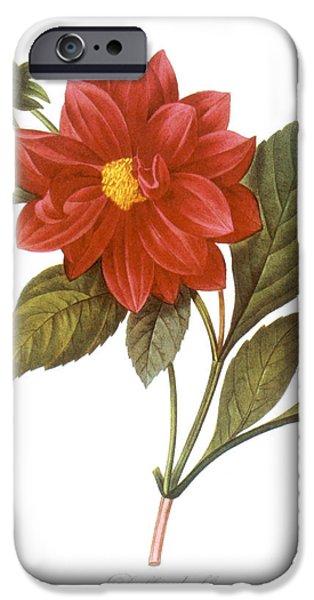 1833 Photographs iPhone Cases - Dahlia (dahlia Pinnata) iPhone Case by Granger