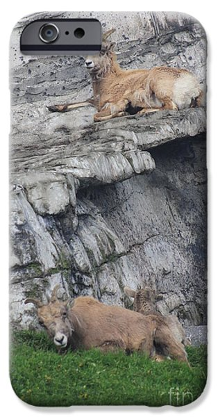 Fauna iPhone Cases - Dall Sheep iPhone Case by Nelson  Smith