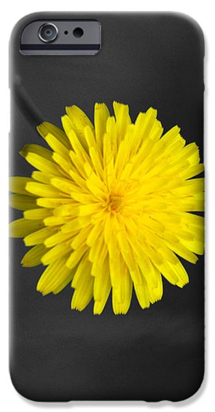 Florals iPhone Cases - Dandelion iPhone Case by Holly Kempe