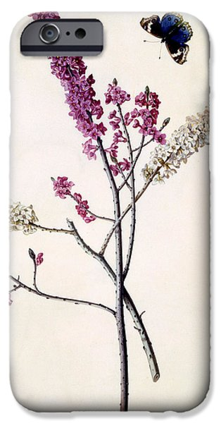 Flora Drawings iPhone Cases - Daphne Mezereum with butterfly iPhone Case by Georg Dionysius Ehret