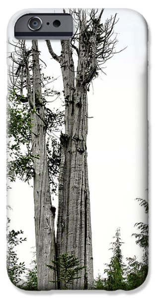 Duncan Memorial Big Cedar Tree - Olympic National Park WA iPhone Case by Christine Till
