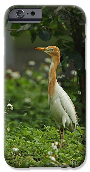 Cattle Egret iPhone Cases - Eastern Cattle Egret iPhone Case by Neil Bowman/FLPA